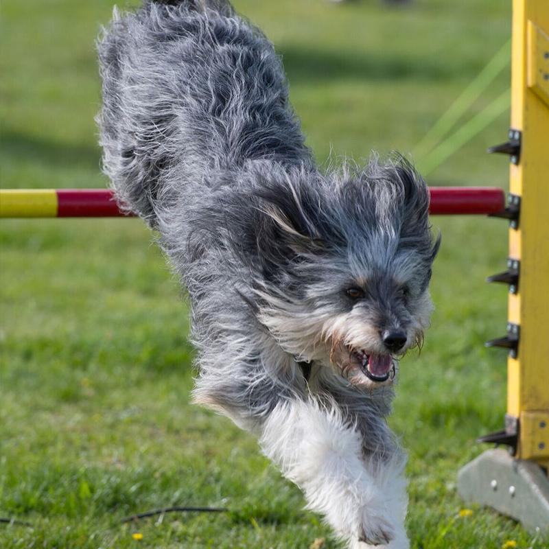 Dog Agility and dog jumping arena