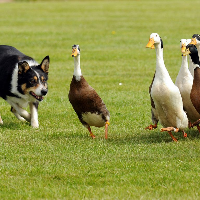 Stuart Barnes Sheepdog & Duck Display